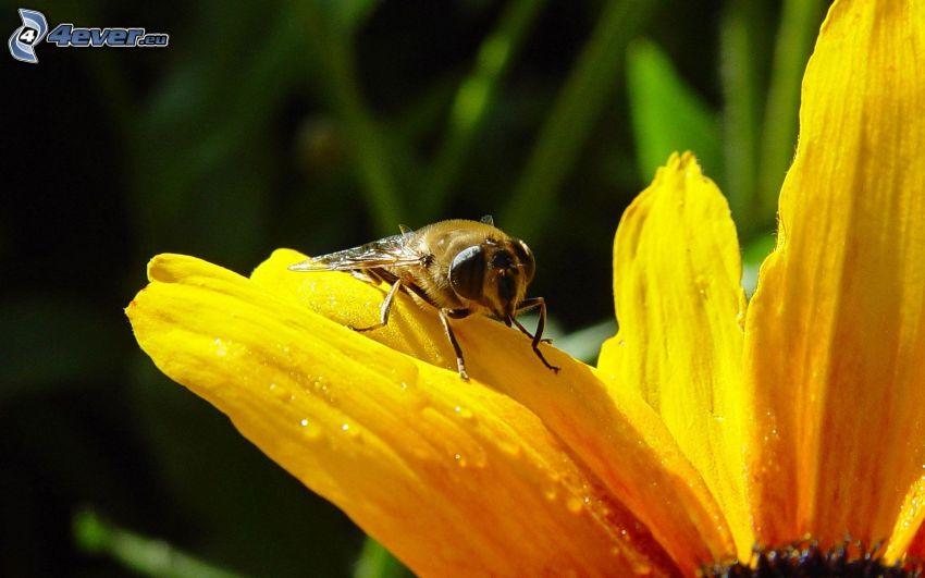 abeja en una flor, flor amarilla, macro