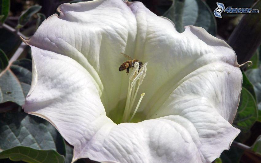 abeja en una flor, flor blanca