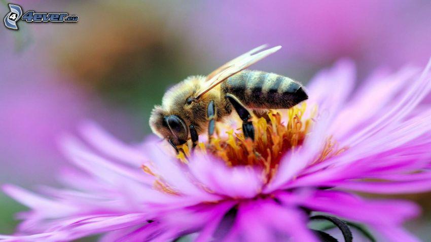 abeja en una flor, flor púrpura, macro