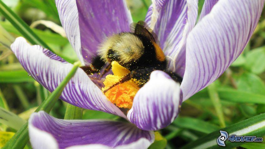 abeja en una flor, flor púrpura