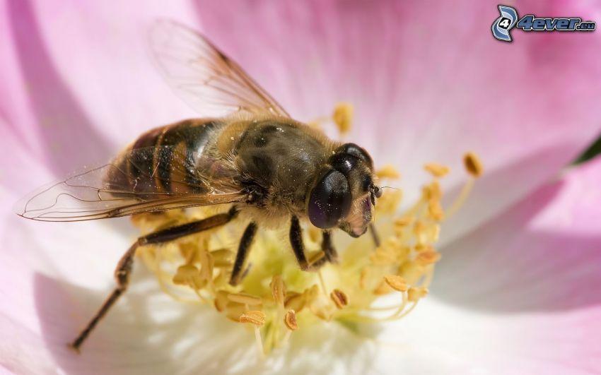 abeja en una flor, flor rosa, macro