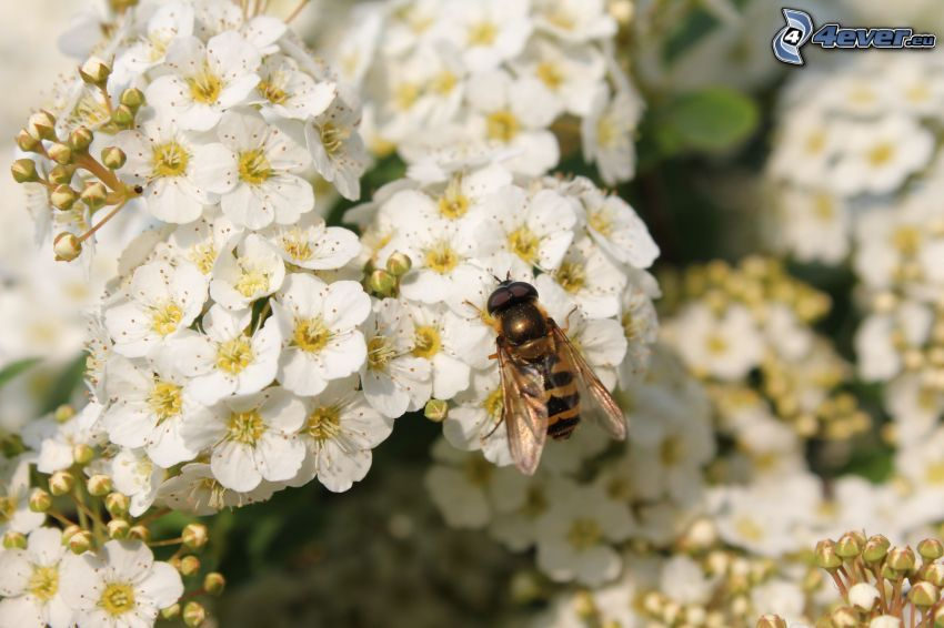 abeja en una flor, flores blancas