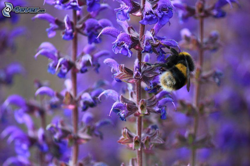 abeja en una flor, flores de color azul