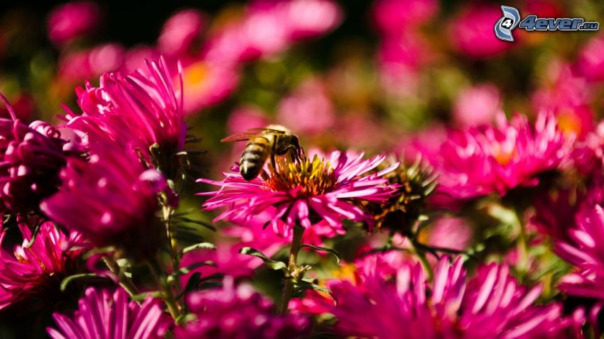 abeja en una flor, flores de color rosa