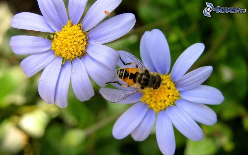abeja en una flor, margaritas