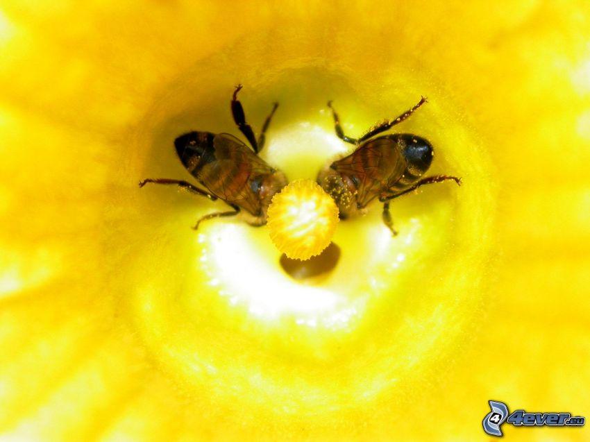 Abejas, flor amarilla, macro