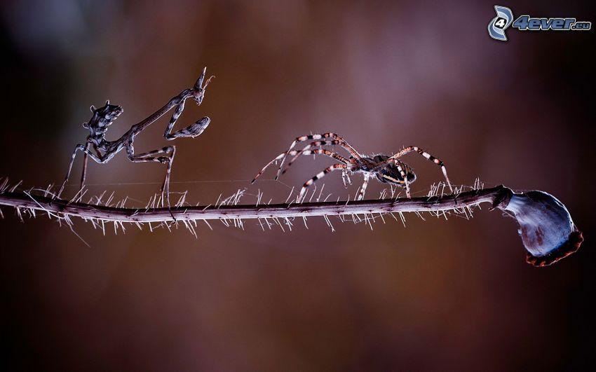 araña, insecto, cabeza de una amapola