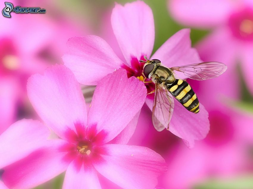 avispa, flores de color rosa