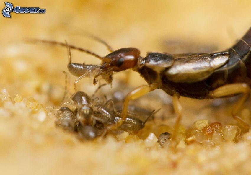 dermaptera, crías