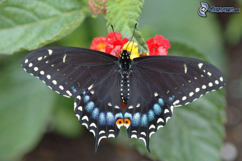 el macaón, macro, mariposa sobre una flor