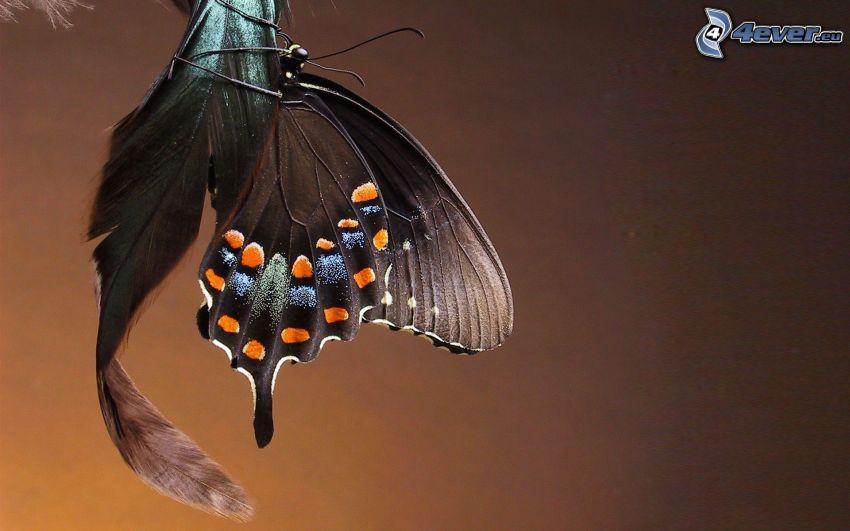 el macaón, mariposa negra, pluma
