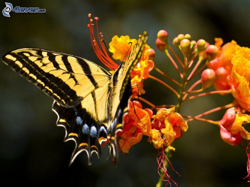 el macaón, mariposa sobre una flor, macro