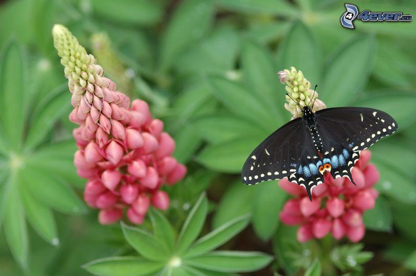 el macaón, mariposa sobre una flor, mariposa negra, flores de color rosa