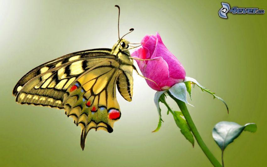 el macaón, mariposa sobre una flor, rosas de color rosa