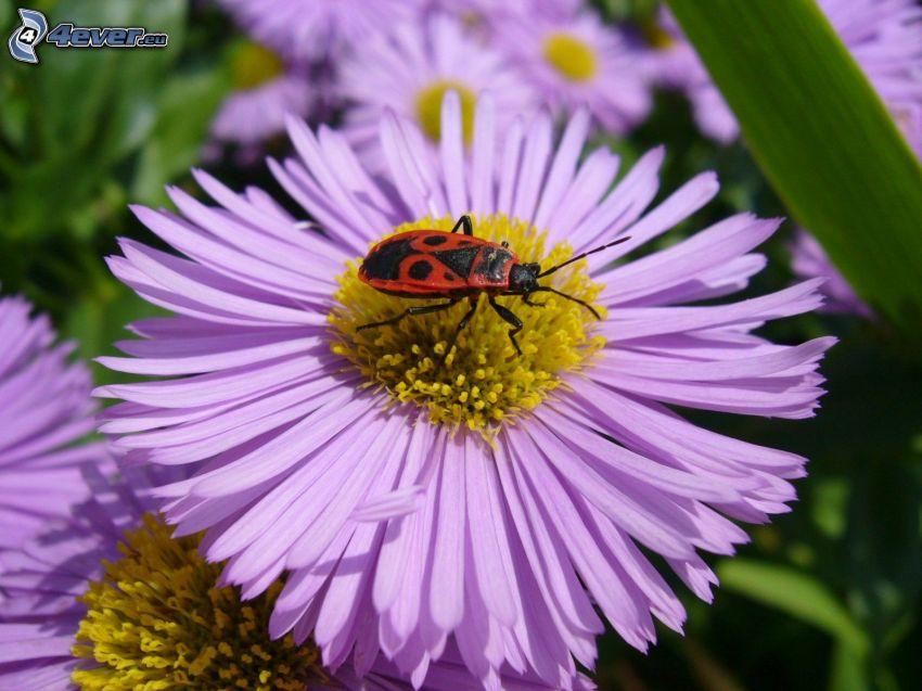 escarabajo, flor púrpura