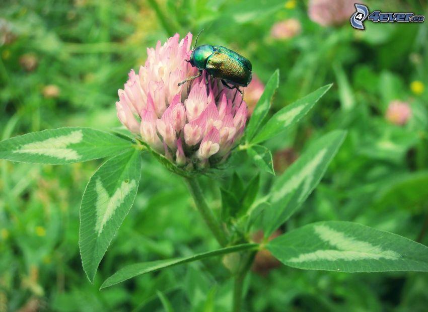 escarabajo, trébol