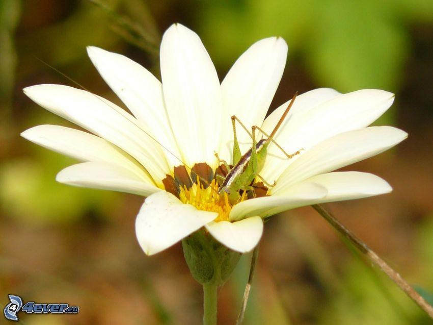 flor blanca, saltamontes