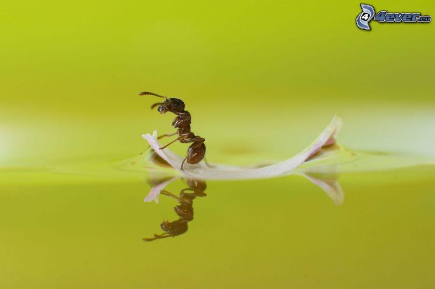 hormiga, balsa, agua