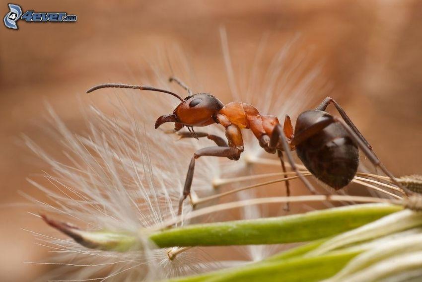 hormiga, diente de león caída, macro