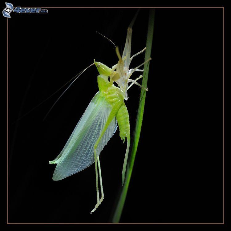 insecto, paja