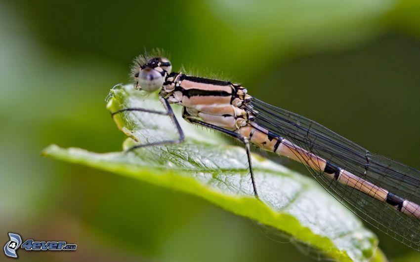libélula, hoja verde