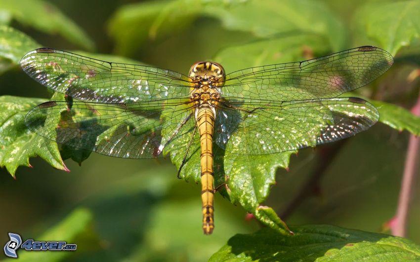 libélula, hojas verdes