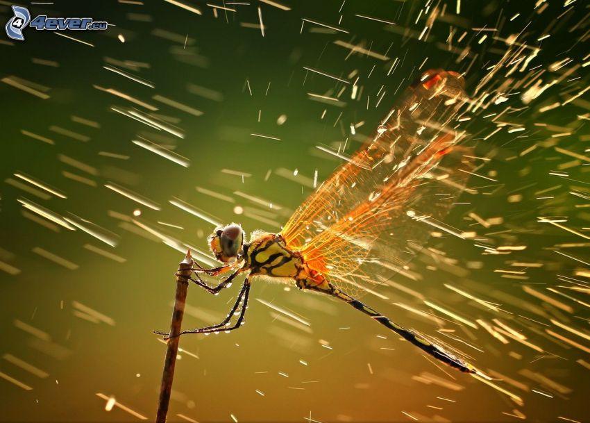 libélula, lluvia