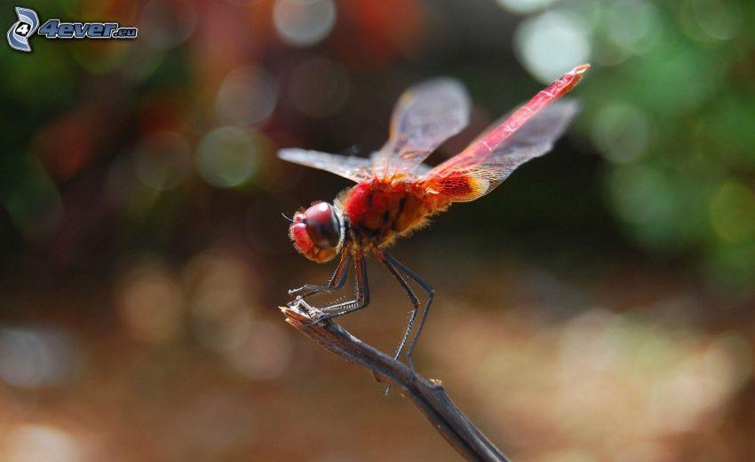 libélula, ramita