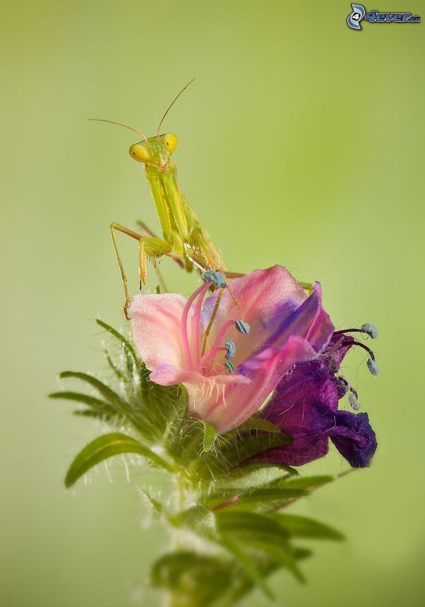 mantis religiosa, flor púrpura