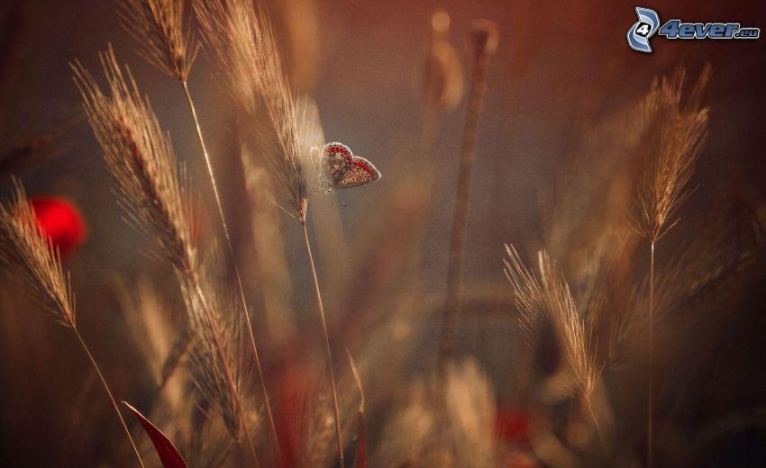 mariposa, cebada