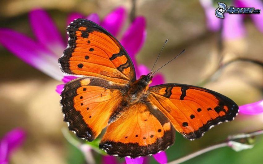 mariposa, flor púrpura, macro