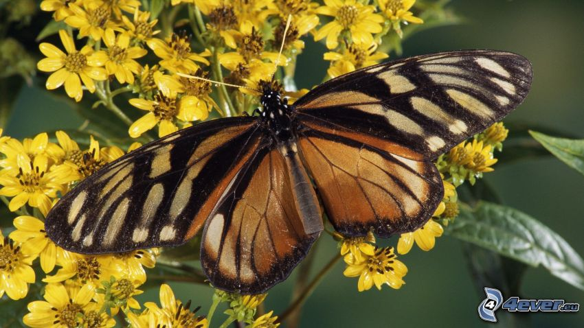 mariposa, flores amarillas, macro