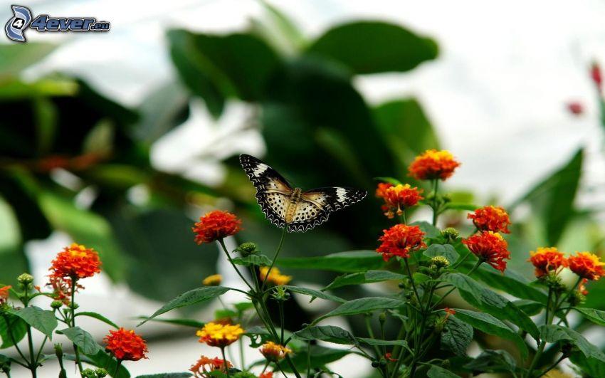 mariposa, flores de color naranja