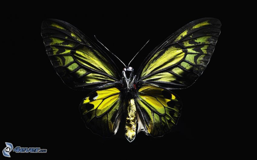 mariposa, fondo negro