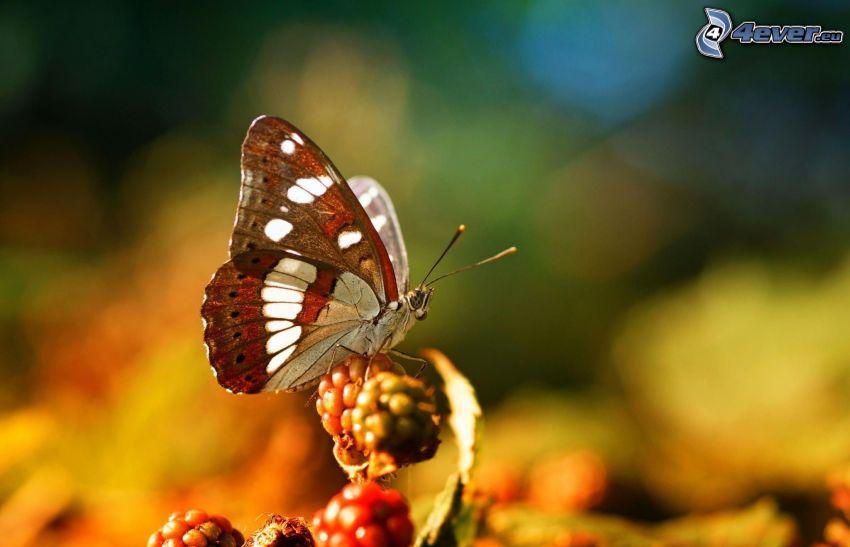 mariposa, frutas