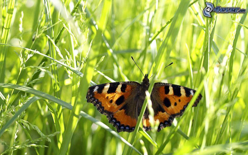mariposa, hierba