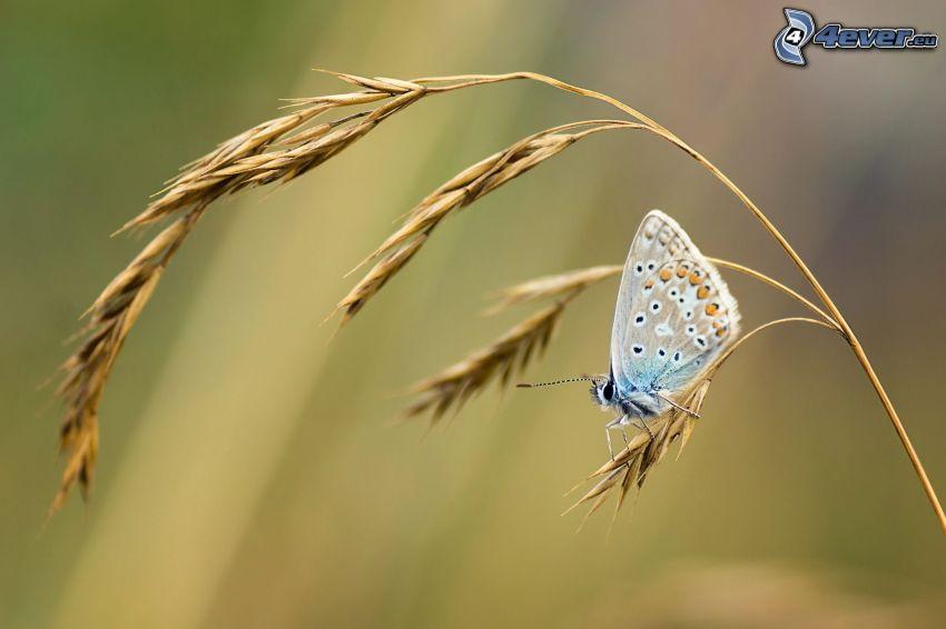 mariposa, hierba seca