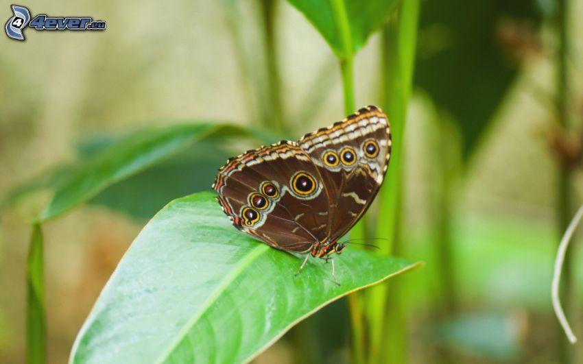 mariposa, hoja, macro