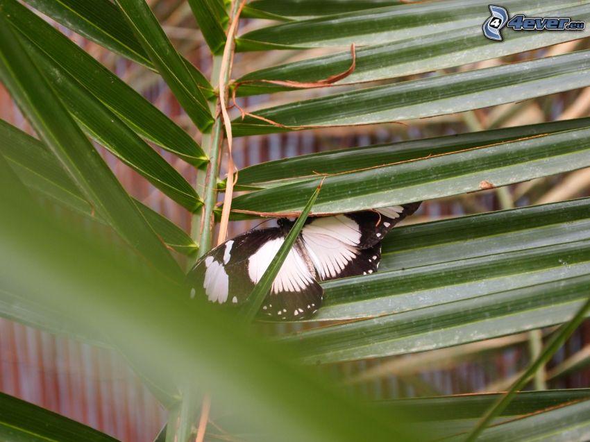 mariposa, hoja de palmera