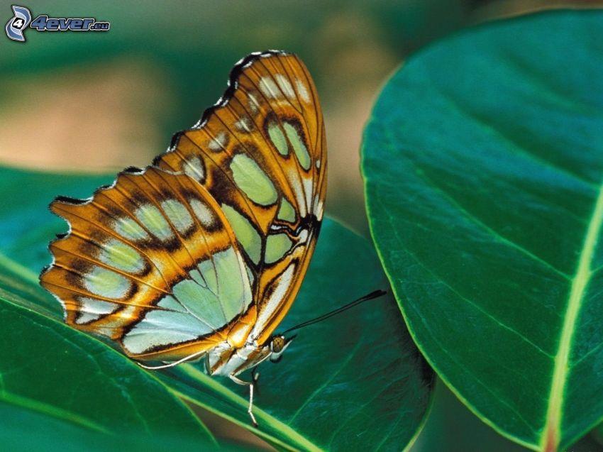 mariposa, hojas, macro