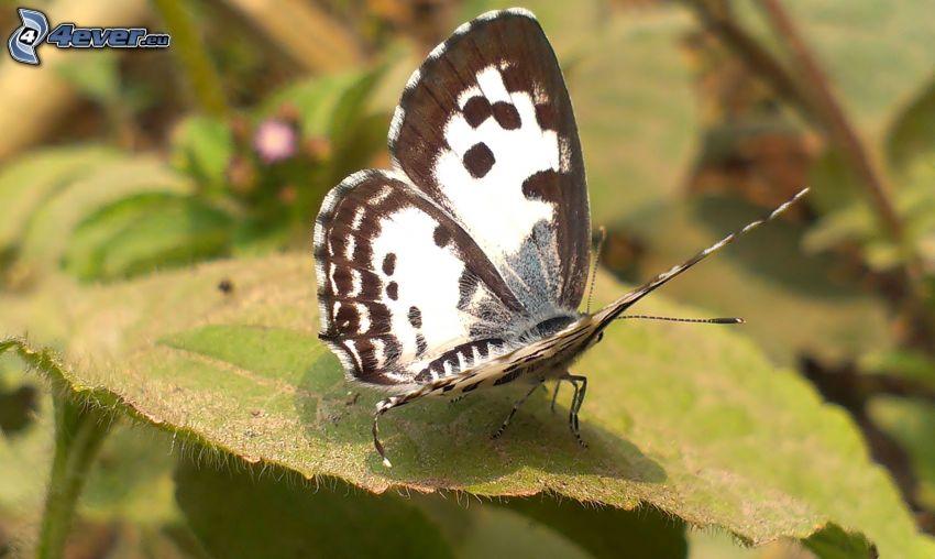 mariposa, macro, hoja