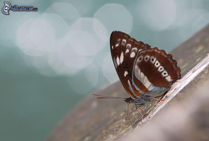mariposa, macro