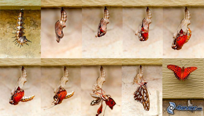 mariposa, oruga