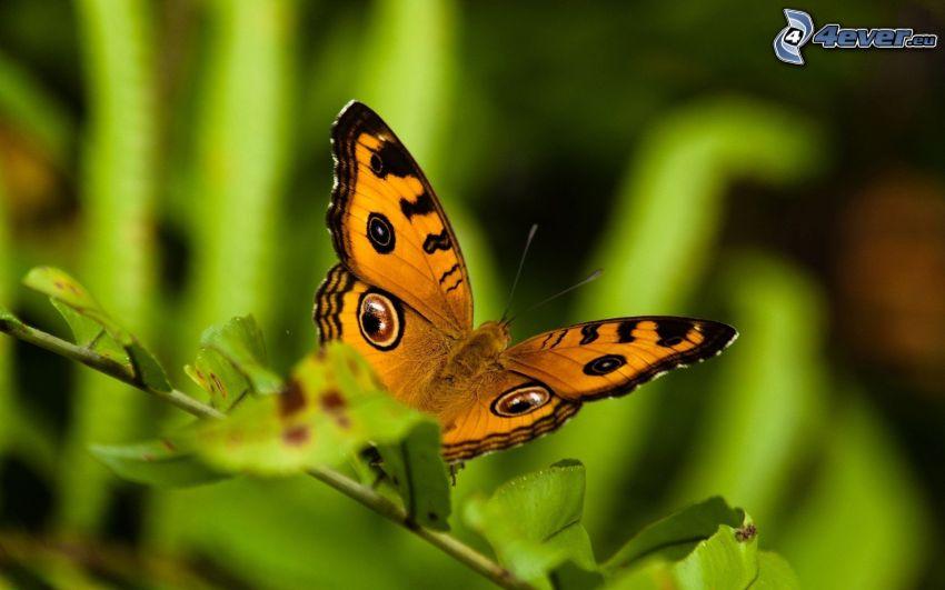 mariposa, ramita, macro