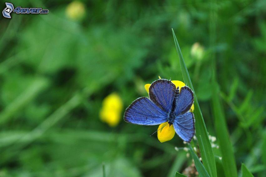 mariposa azul, mariposa sobre una flor, flor amarilla