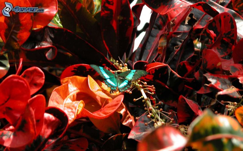 mariposa azul, plantas