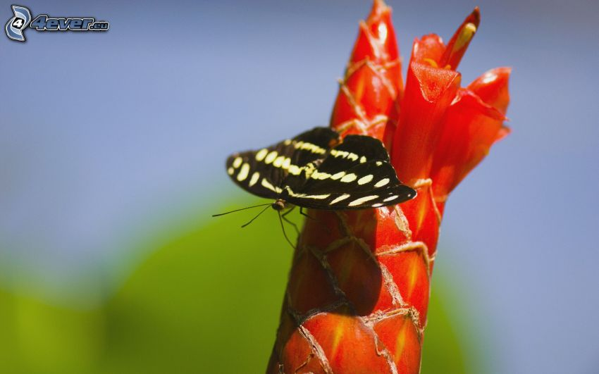 mariposa negra, flor roja