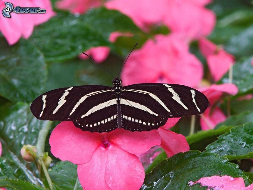 mariposa negra, flores de color rosa
