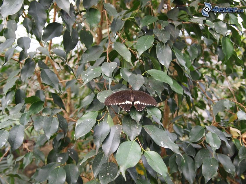 mariposa negra, hojas verdes en una rama