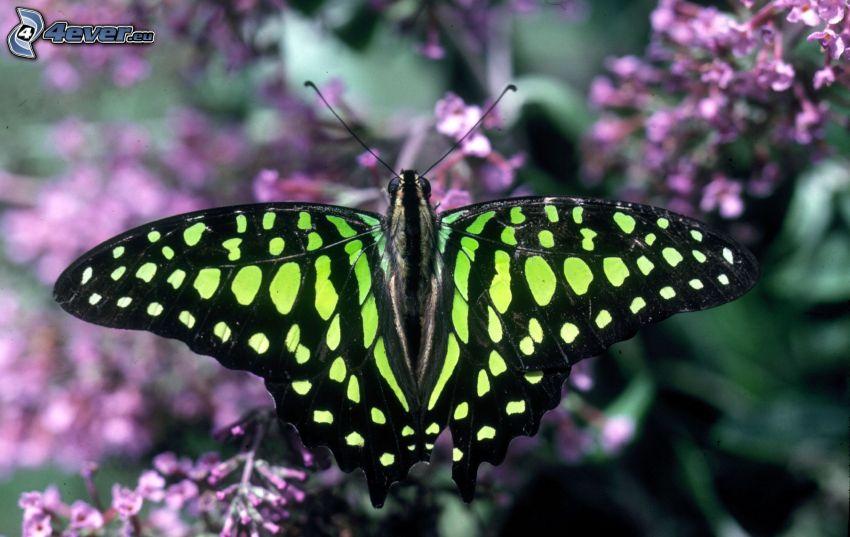 mariposa negra, macro